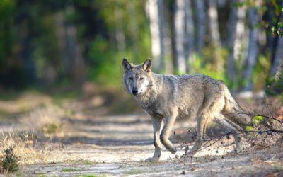 Aktuelle Forsa-Umfrage zum Tag des Wolfes